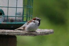 IMG_2895-House-Sparrow
