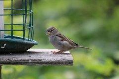 IMG_2897-House-Sparrow