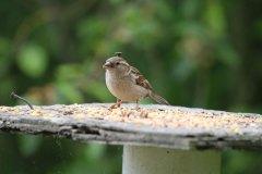 IMG_3024-Brown-headed-Cowbird