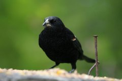 IMG_3031-Red-winged-Blackbird