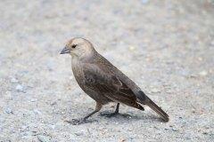 IMG_3059-Brown-headed-Cowbird