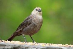 IMG_3094-Brown-headed-Cowbird-