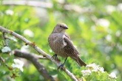 IMG_3112-Brown-headed-Cowbird