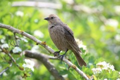IMG_3115-Brown-headed-Cowbird