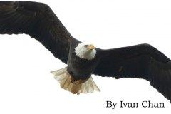 eagletitlehead
