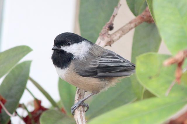 Black Chickadee Bird